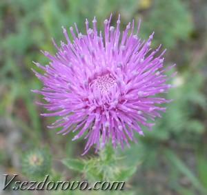 Цветок татарника
