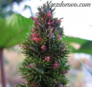 клещевина цветет фото