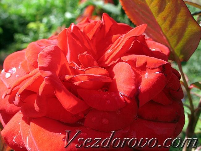 красная цветущая роза