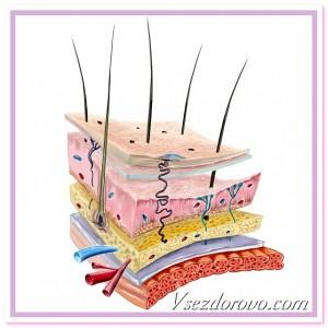 анатомия кожи схема