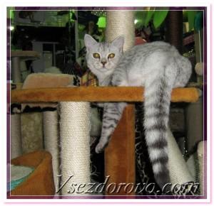 кот на дряпке
