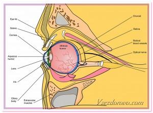 retina - сетчатка, схема строение глаза