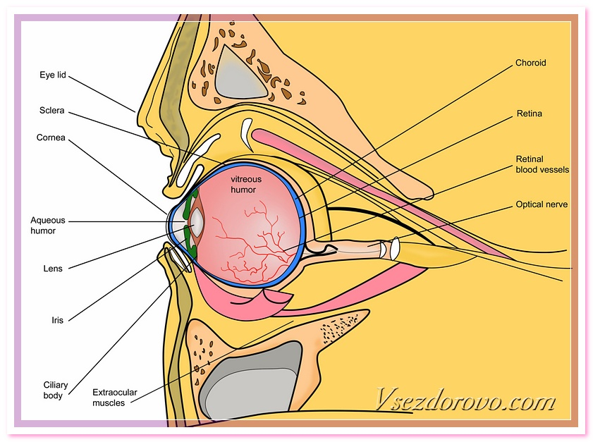 retina - сетчатка, схема