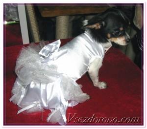 собачка в свадебном платье