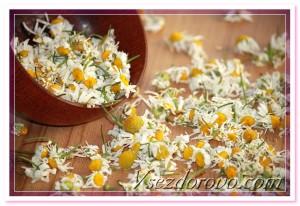 цветы аптечной ромашки фото