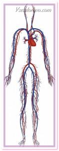 кровеносная система 3д фото