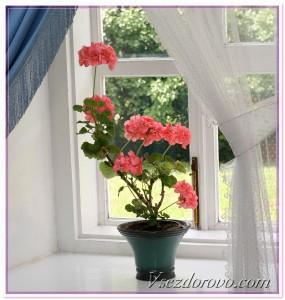 комнатные растения - герань