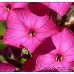 цветок флокса макро фото