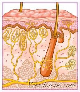 схема строения кожи и волосяной луковицы