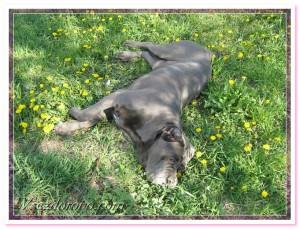 собака лежит на зеленой травке