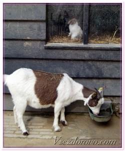 коза фото