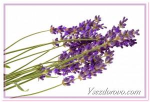 цветки лаванды фото