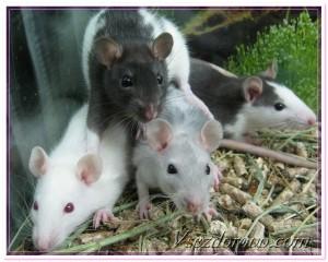 крыски фото