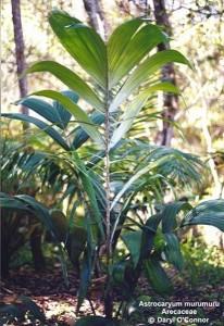 Пальма муру-муру фото