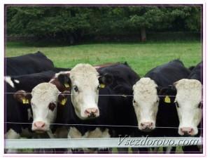 Фермерское хозяйство бычки на откорме фото