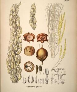 Цветы и плоды бабассу