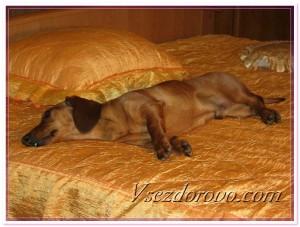 Собака лежит на постели фото