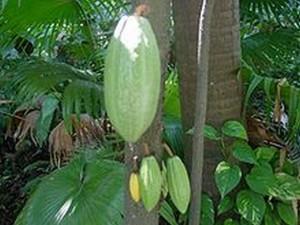 Зеленые плоды купуасу
