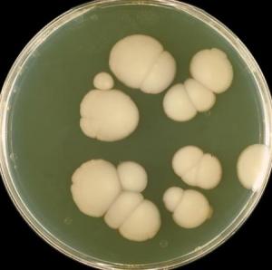 Колонии гриба Candida питательной среде