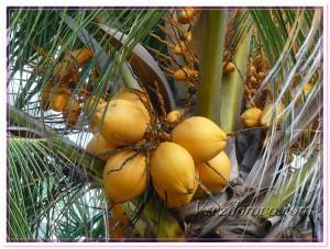 Кокосовая пальма и недозрелые кокосы фото