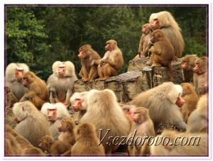Семья обезьян фото