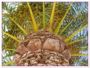 Масличная пальма с недозрелыми плодами фото