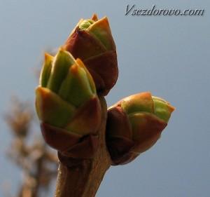 Почки дерева весной фото