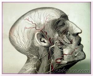 голова сосуды нервы анатомия