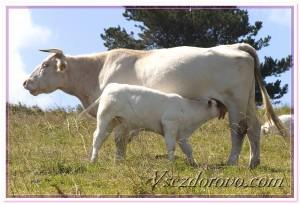 Корова и теленок фото