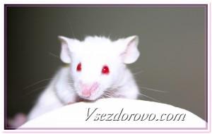 Лабораторная мышь фото