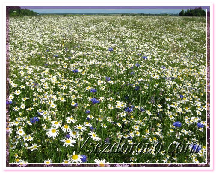 Ромашковое поле фото