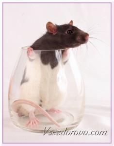 Лабораторная крыса фото