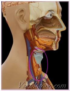 Щитовидная железа анатомическая модель