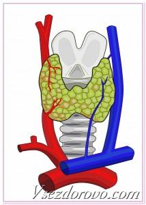 щитовидная железа схема