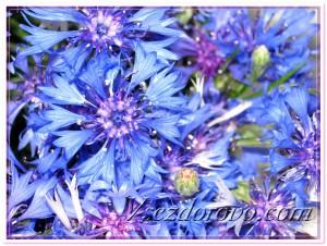 Василек синий фото