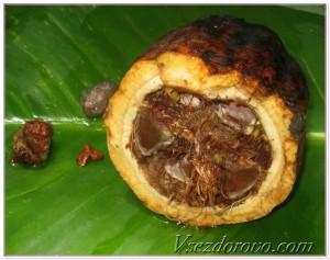 Спелый плод какао