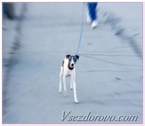 собака бежит фото