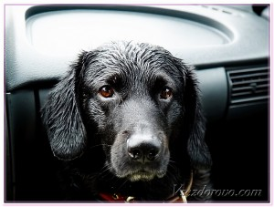 черный пёс в машине