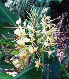 имбирная лилия