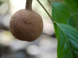 плод чаульмугры