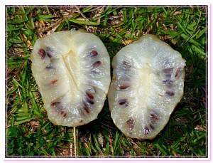 плод моринды