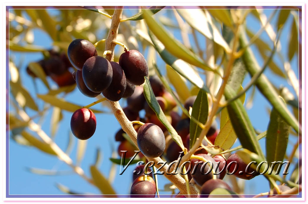 оливковое масло снижает уровень холестерина