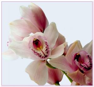 розовая орхидея фото