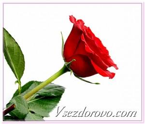 красная роза фото