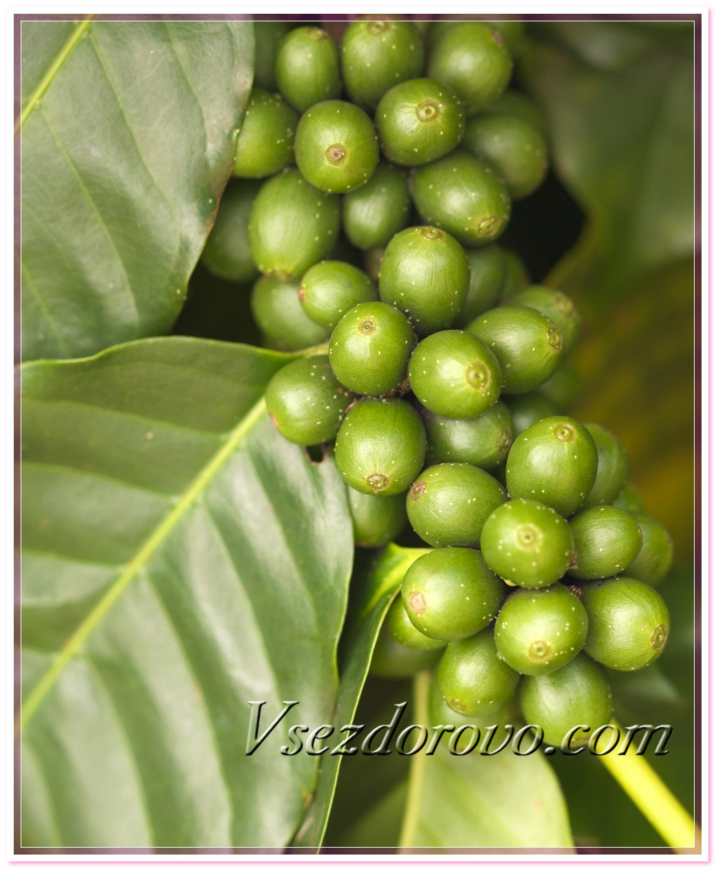 КОФЕ ЗЕЛЕНОГО МАСЛО Coffea arabica