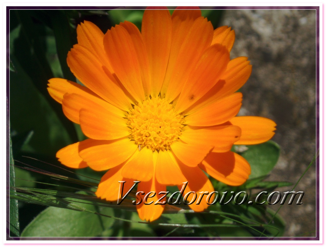 КАЛЕНДУЛЫ МАСЛО (МАЦЕРАТ) Calendula officinalis