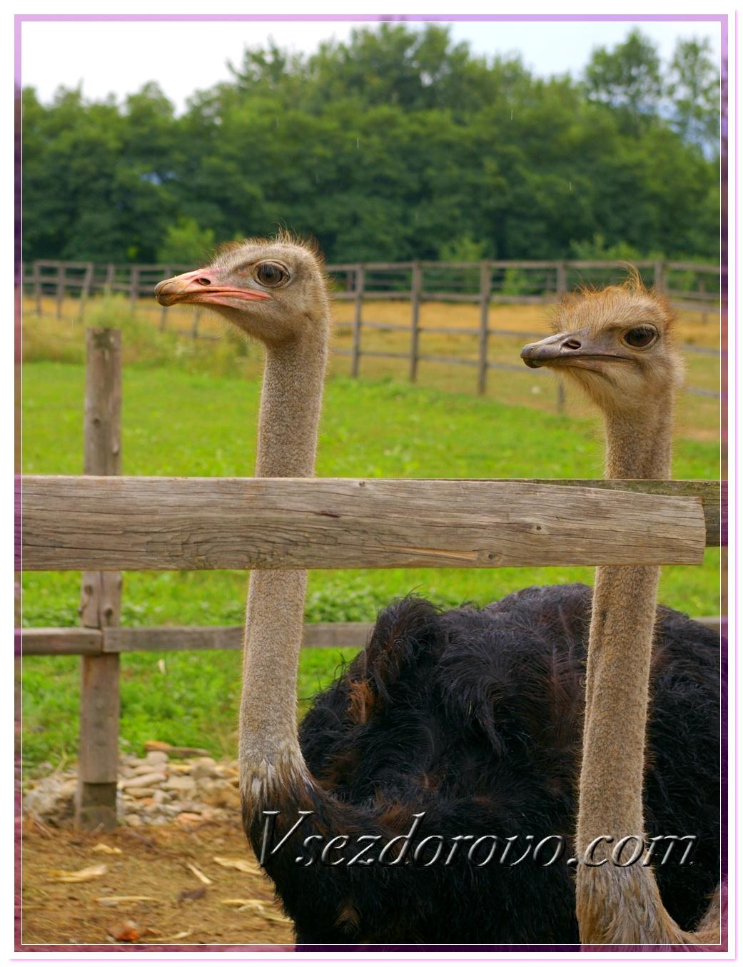 Черный страус фото