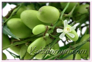 Ним - цветок и плоды