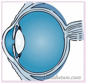 строение глаза схема