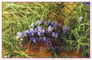 Цветки розмарина фото